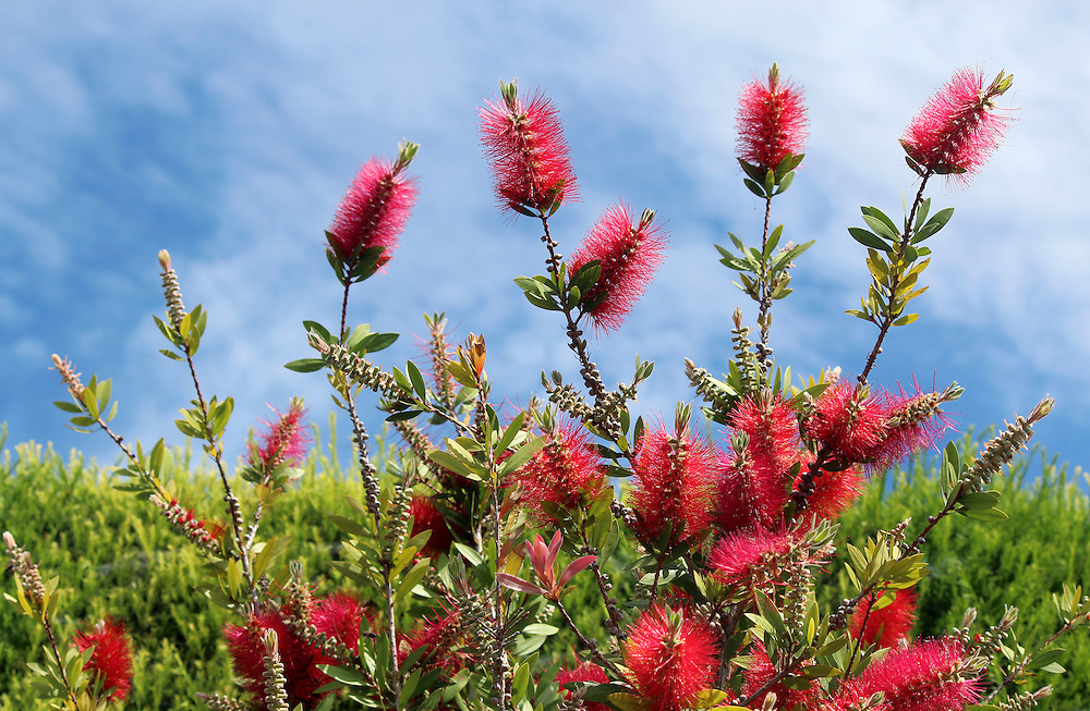 Callistemon is a genus of ornamental shrub in the family Myrtaceae, all endemic to Australia. Commonly referred to as bottlebrushes because of their cylindrical, brush like flowers resembling a traditional bottle brush.