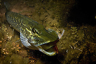 Northern Pike (juvenile eating a small yellow perch)<br />