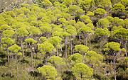 Forest of stone or umbrella pines, Pinus pinea, in the Rio Tinto river valley, Minas de Riotinto, Huelva, Spain