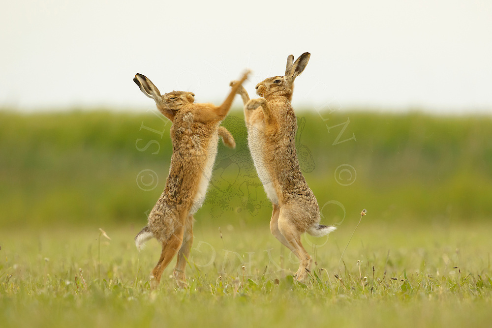 European Hare (Lepus europaeus) adult pair, 'boxing', female fighting off male in grass field, Norfolk, England, May.