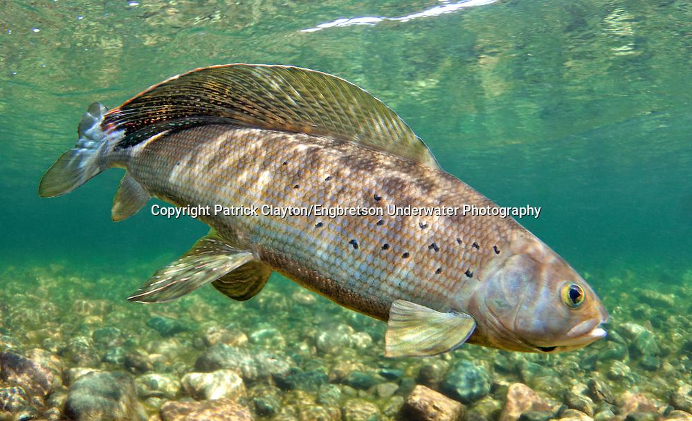Arctic grayling engbretson underwater photography for Alaska freshwater fish