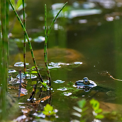 Rã-comestível (Pelophylax esculentus) fotografado na Alemanha. Registro feito em 2019.<br /> ⠀<br /> ⠀<br /> <br /> <br /> <br /> <br /> <br /> <br /> <br /> <br /> <br /> <br /> ENGLISH: Edible Frog photographed in Germany, in Europe. Picture made in 2019.