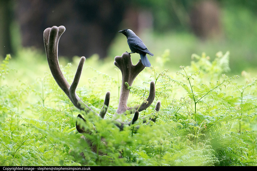 © Licensed to London News Pictures. 28/05/2014. Richmond, UK. A crow takes advantage of the rain and gives a stags antlers a clean. Wet weather in Richmond Park today 28th May 2014. Photo credit : Stephen Simpson/LNP