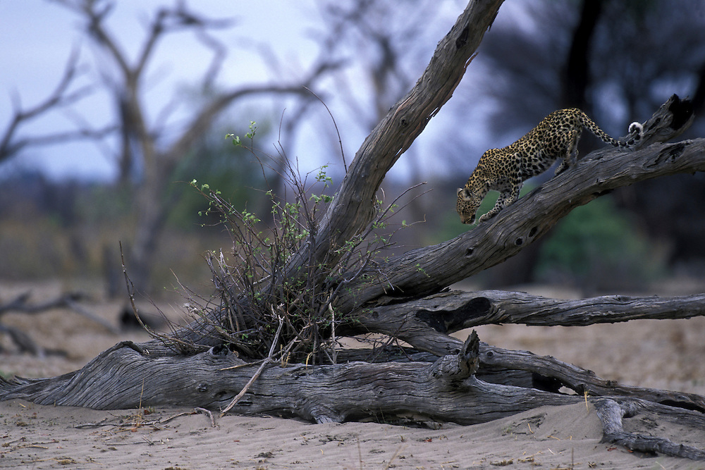 Botswana, Chobe National Park, Adult Leopard (Panthera pardus) climbs down from dead tree limb in Savuti Marsh