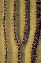 North America, United States, Arizona, Saguaro National Monument, ribs and spine of Saguaro cactus (Carnegiea gigantea); grow to 50' in 150 years.