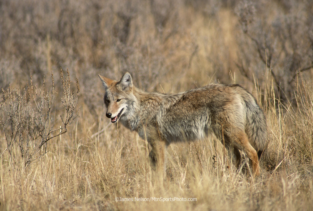 16-71. A coyote pauses in a opening in the sagebrush during an autumn afternoon in Yellowstone National Park located in western Wyoming.