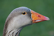 Toulouse Goose, Southland, New Zealand