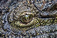 Crocodile (Crocodylidae), South Africa.