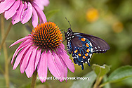 03004-01207 Pipevine Swallowtail Butterfly (Battus philenor) male on Purple Coneflower (Echinacea purpurea) Marion Co., IL