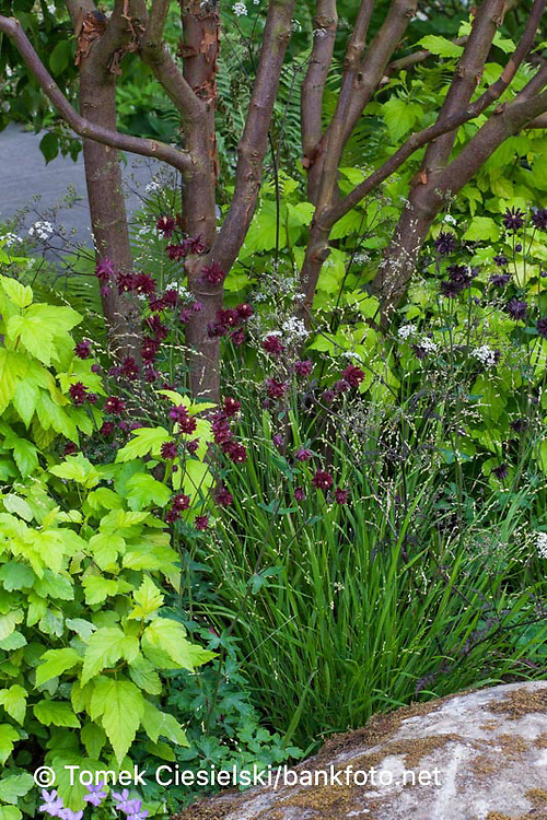 Acer griseum multi stem under planted of perennials
