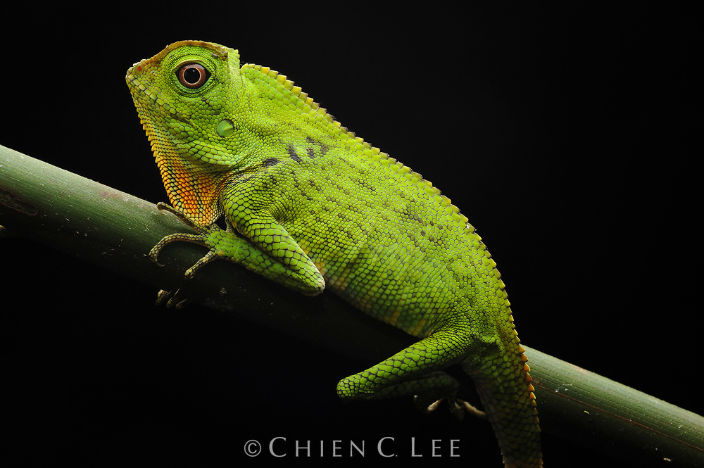 Gonocephalus doriae, a  rare and relatively unknown lizard is found only in the lowland rainforests of Borneo. Sarawak, Malaysia.