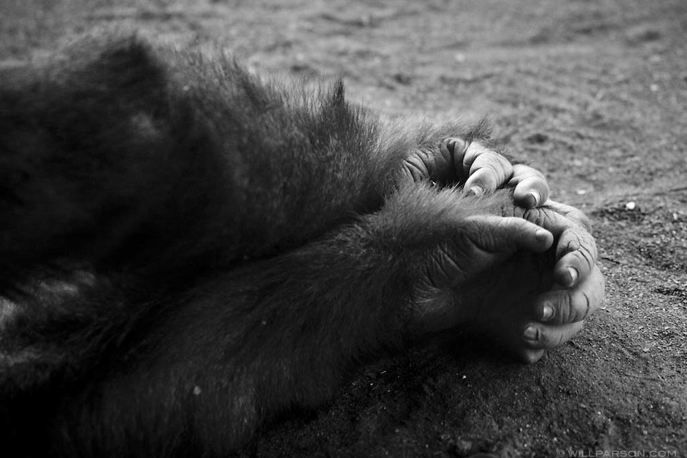 A gorilla sleeps with arms stretched at the San Diego Zoo