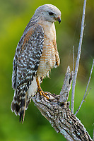 Red-shouldered Hawk (Buteo lineatus) - Arthur R Marshall, National Wildlife Reserve, Loxahatchee, Florida, USA
