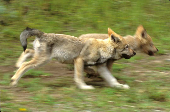 Gray Wolf, (Canis lupus) Portrait of pup running. Summer. Captive Animal.