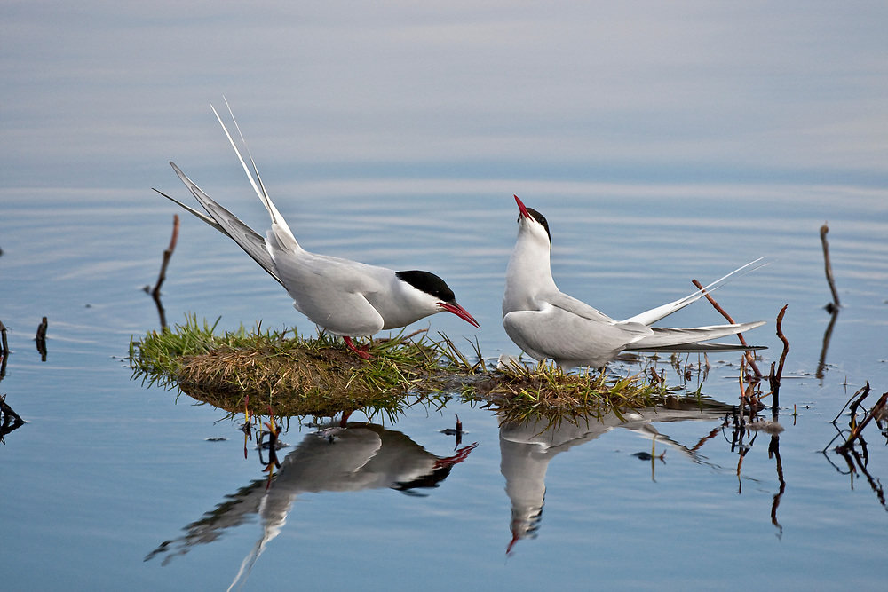 Pair of adult Arctic terns (Sterna paradisaea) in breeding plumage facing each other in a mating ritual, one with head up, one with head down.  Potter Marsh, Anchorage, Alaska in May.