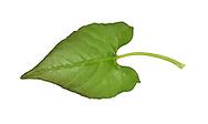 Black-bindweed - Fallopia convolvulus