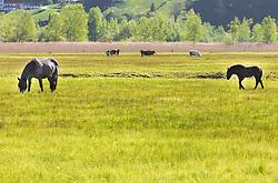 THEMENBILD - eine schwarze Norikastute mit ihrem Fohlen auf einer Wiese. Im Hintergrund grasen Kühe, aufgenommen am 19. Mai 2019, Zell am See, Österreich // eine Norikastute mit ihrem Fohlen auf einer Wiese. Im Hintergrund grasen Kühe on 2019/05/19, Zell am See, Austria. EXPA Pictures © 2019, PhotoCredit: EXPA/ Stefanie Oberhauser