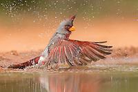 Pyrrhuloxia, Cardinalis sinuatus;<br /> Photographer:  Hector Astorga<br /> Property:  Santa Clara Ranch / Beto &amp; Clare Gutierrez<br /> Starr County