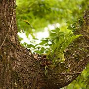 Camphor tree with Aglamorpha Coronans, Namasia Township, Kaoshiung County, Taiwan