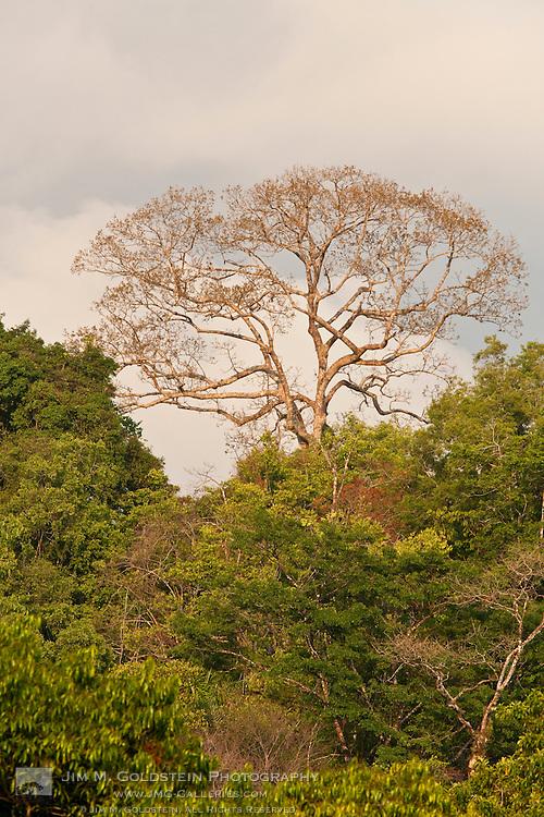 A Ceiba Tree (Ceiba pentandra) stands above the rainforest canopy of Corcovado National Park, Costa Rica
