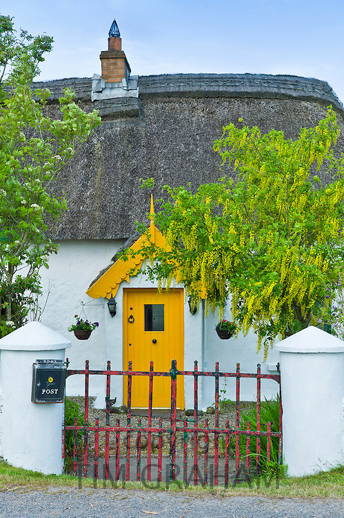 Traditional thatched cottage of lime mortar and whitewash with Laburnum tree at Rosslare,  Ireland