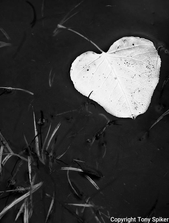"""""""Aspen Leaf 1"""" - A black and white photograph of an Aspen Leaf resting in a pond"""