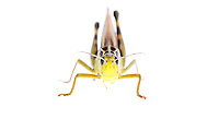 IFTE-NB-007467; Niall Benvie; Arcyptera fusca; Austria; grasshopper; Europe; Tirol; Fliesser Sonnenhänge; insect arthropod invertebrate; horizontal; high key; red green white; controlled; male; adult; one; meadow grassland upland; 2008; July; summer; strobe backlight; Wild Wonders of Europe Naturpark Kaunergrat