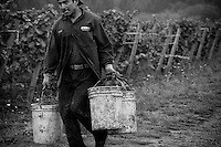 Immigrant farm workers from Mexico and Central America pick grapes during the annual harvest of grapes for wine in Northern Oregon near Portland and Dundee, Oregon.