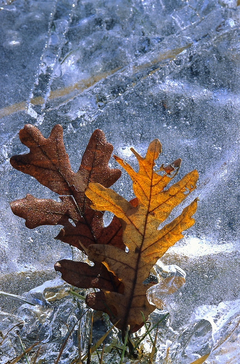 Two backlit oak leaves stand against a backdrop of ice, on the Tera River, in the region of Sanabria, Northern Spain