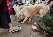 A dog searches for food at the Indein market, Myanmar.
