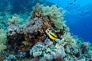 Red Sea bannerfish-Poisson cocher (Heniochus intermedius) of Red Sea, Egypt.