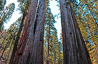 Giant sequoia trees, aka as California redwoods, in Calaveras Big Trees State Park, California, USA, 201304211684<br />