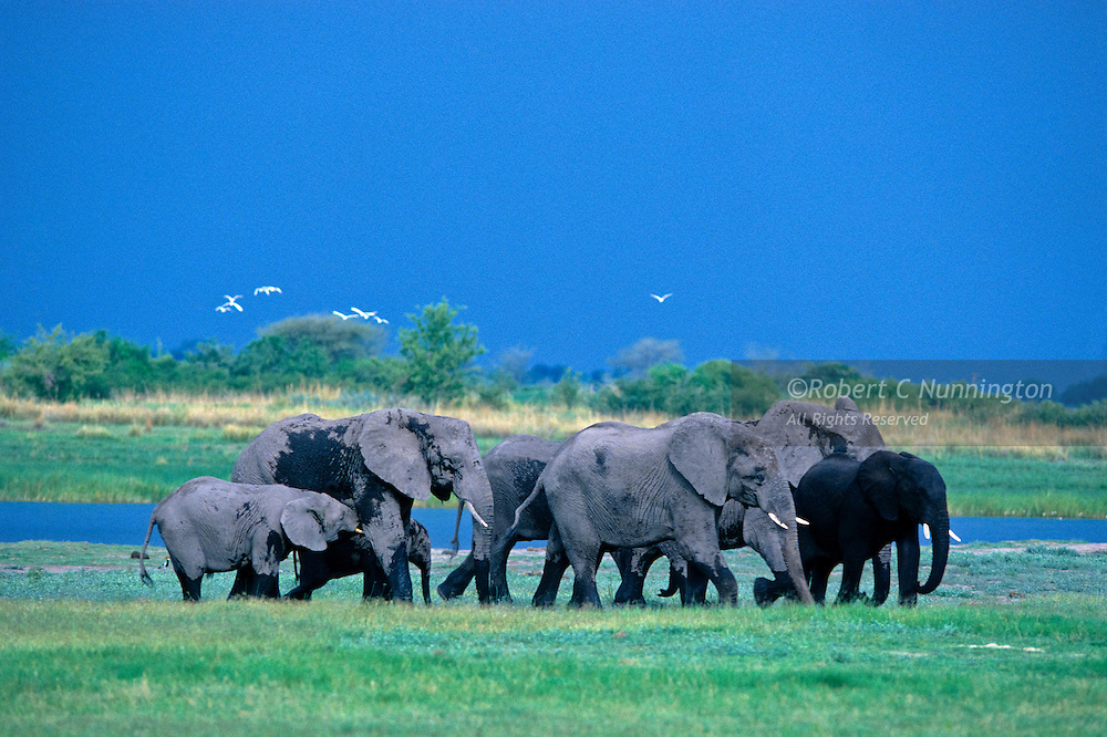 Excited after their refreshing drink and bath, a small group of elephants move away from an impending storm over the Chobe River in Botswana, Southern Africa