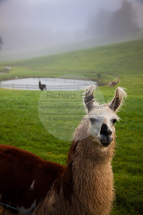 Llamas in the morning mist Brevard, NC in the Blue Ridge mountains of western North Carolina.