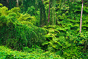 Lush vegetation at Akaka Falls State Park, Hamakua Coast, The Big Island, Hawaii USA