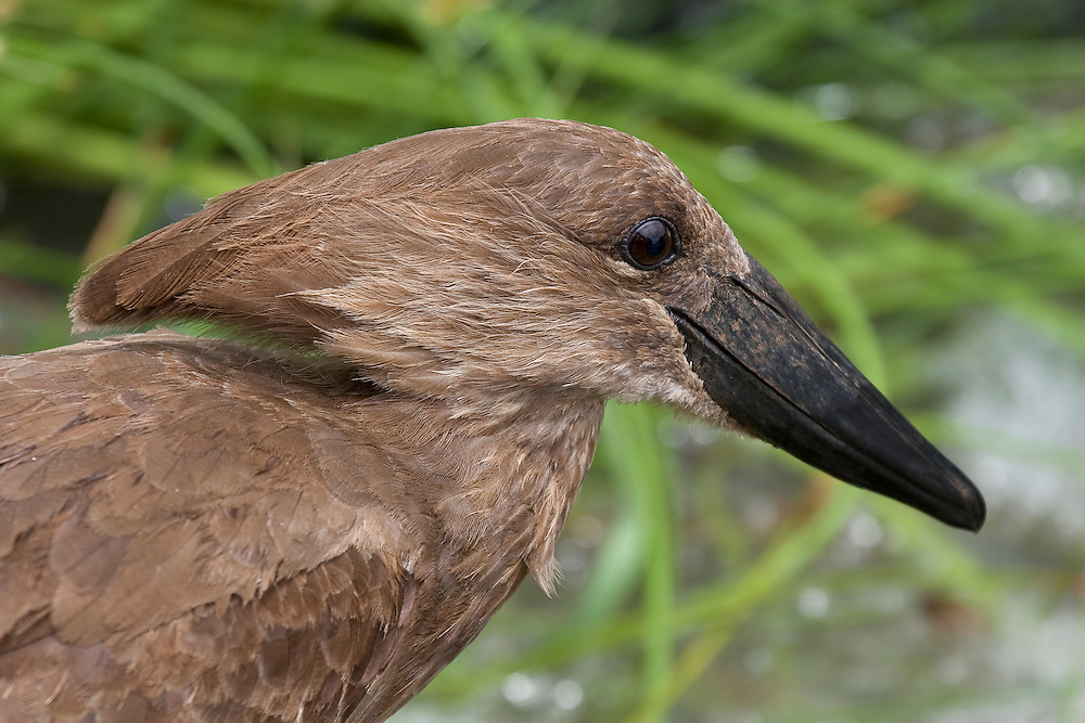 (Scopus umbretta) Portrait of a Hamerkop showing its hammer-shaped head and plummage. Tarangire National Park, Tanzania