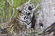 Jaguar<br /> Panthera onca<br /> Looking up in the trees<br /> Cuiaba River, Brazil