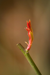 Detail of new growth shooting from a rose after being pruned