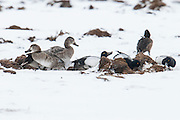 Lesser Scaup, Redheads, Aythya affinis, americana, feeding on manure,  Brown County, South Dakota
