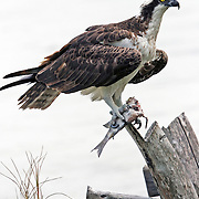Osprey, Pandion haliaetus, with fish standing on driftwood, Ft Myers Beach, Florida. During breeding season, a male Osprey will eat the head off of his fish and save the fillets for his mate and offspring.