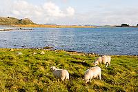 Norway, Rennesøy. Sheep on Klosterøy Island.