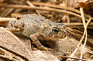 Fowler's Toad (Anaxyrus fowleri)<br /> United States: Alabama: Tuscaloosa Co.<br /> Tulip Tree Springs off Echola Rd.; Elrod<br /> 23-Jun-2017<br /> J.C. Abbott #2962