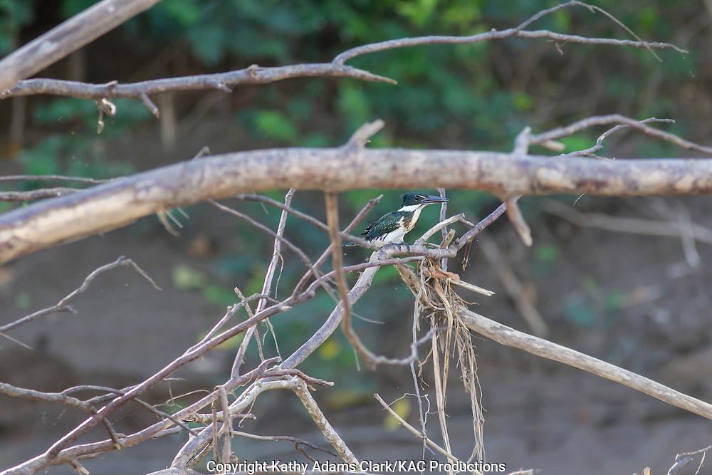Amazon kingfisher; Chloroceryle amazona; Inkaterra Amazonia; Madre de Dios River; Peru; Reserva Ecologica Inkaterra