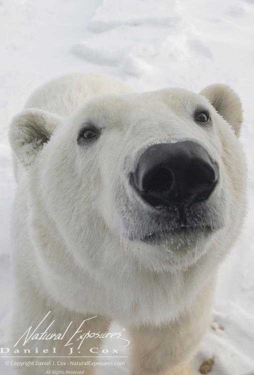 Polar Bear (Ursus maritimus) at Hudson Bay, Manitoba, Canada.