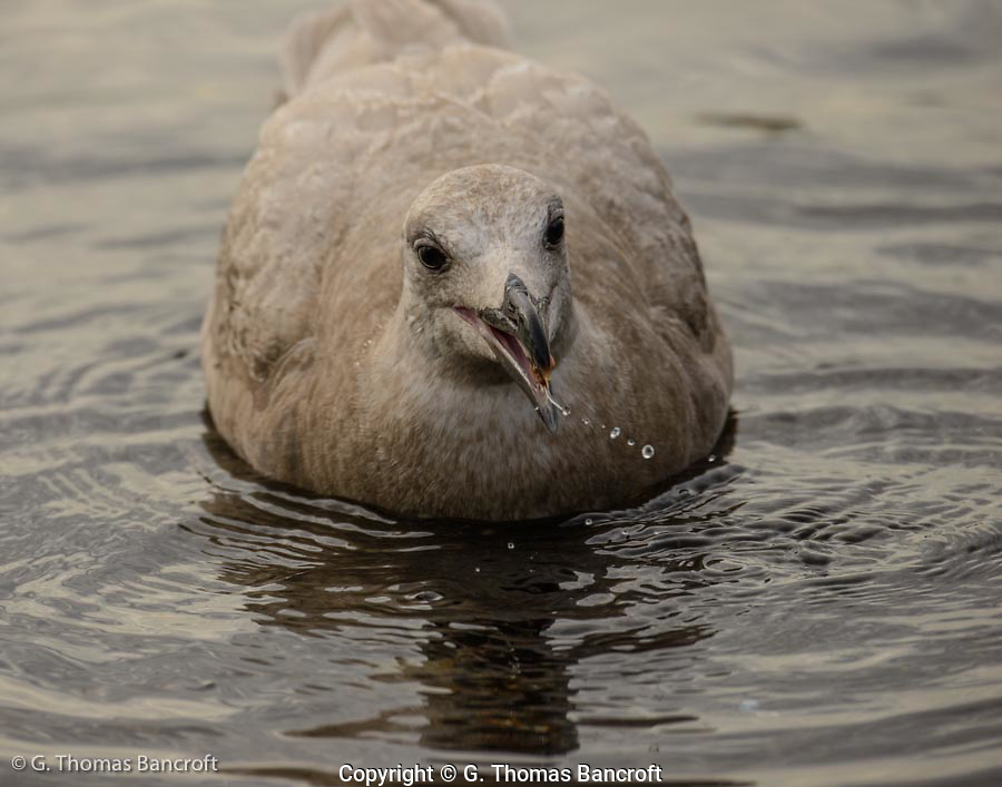 Young Glaucaous-winged Gull feeds in shallow water