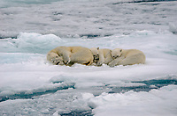 Polar Bear sow with two cubs on the sea ice above 80˚ north above the Svalbard archipeligo, Norway.