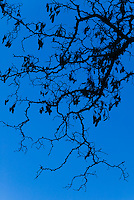 Oak tree branches against blue sky.