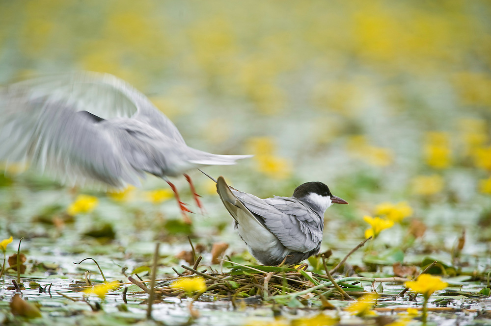 Whiskered Tern (Chlidonias hybridus) on water covered with yellow floating heart (Nymphoides peltata) in Hortobagy National Park, Hungary