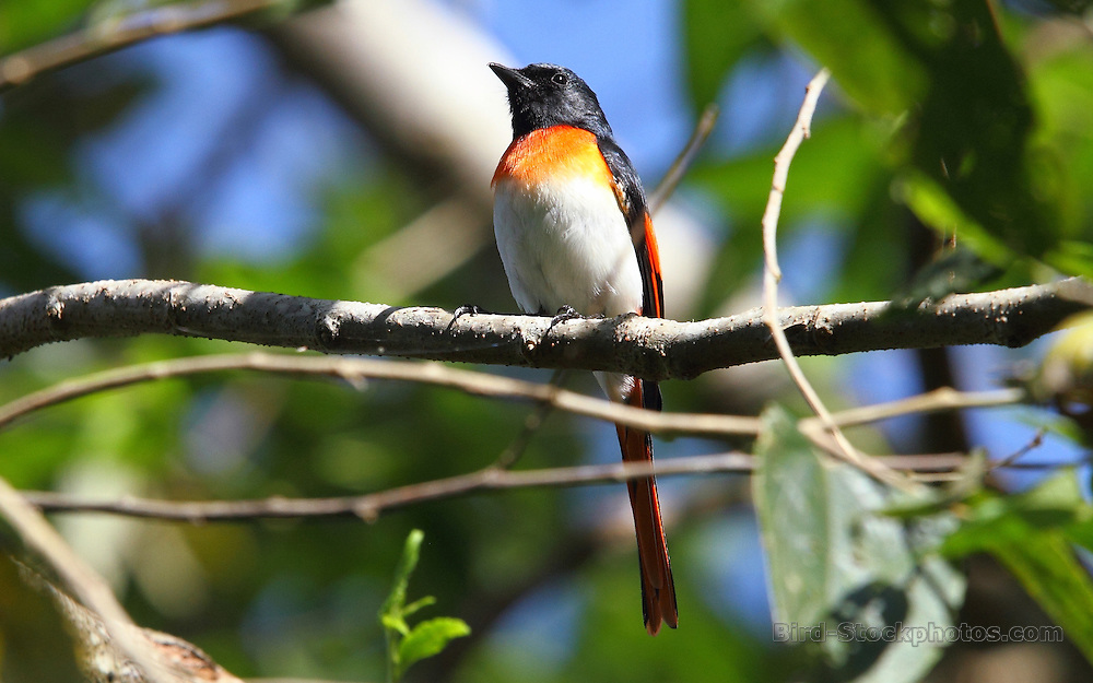 Little Minivet, Pericrocotus lansbergei, Golo Lusang, Flores, Indonesia, by Adam Riley