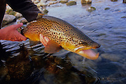 08193-D. Large brown trout caught on the South Fork of the Snake River, Idaho.